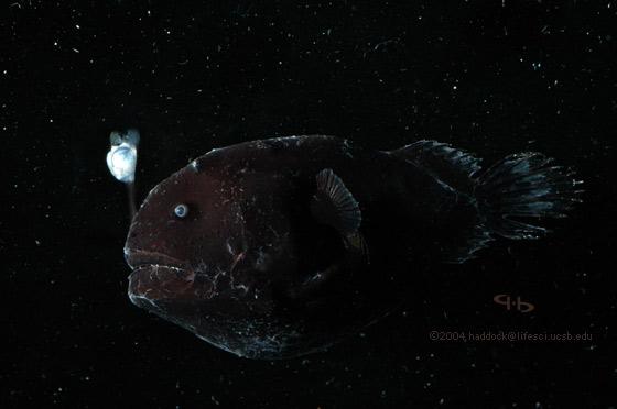 Anglerfish picture for Angler fish light
