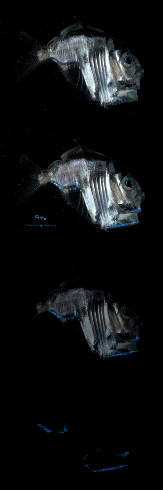 Hatchetfish bioluminescence - photo#25